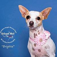 Adopt A Pet :: Briggitta - Houston, TX