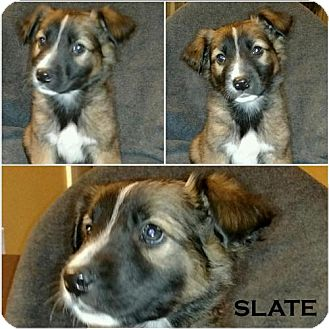 German Shepherd Dog Mix Puppy for adoption in Akron, Ohio - Crayola Litter - Slate
