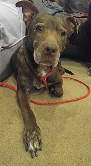 American Pit Bull Terrier/Labrador Retriever Mix Dog for adoption in Rising Sun, Maryland - Diamond