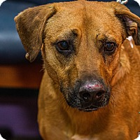 Adopt A Pet :: Barney - Evansville, IN