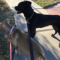 Boxer/Labrador Retriever Mix Dog for adoption in Missouri, Texas - Judy