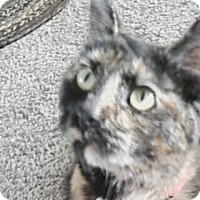 Adopt A Pet :: Torti Girl - Xenia, OH