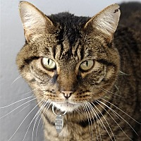 Adopt A Pet :: Mickey - Atascadero, CA