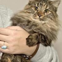 Adopt A Pet :: Octavia - Cashiers, NC