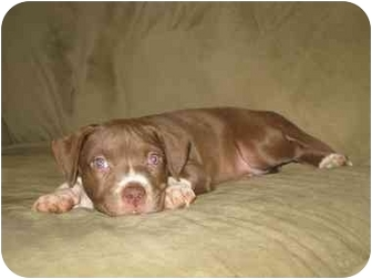 American Pit Bull Terrier Mix Puppy for adoption in Reisterstown, Maryland - Lacey