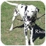 Photo 2 - Dalmatian Dog for adoption in Mandeville Canyon, California - Riva