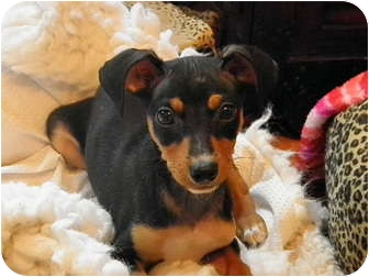Dachshund/Terrier (Unknown Type, Medium) Mix Puppy for adoption in Amelia  Island/Clearwater/Jacksonville, Florida - Evans