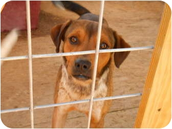 Australian Cattle Dog/Terrier (Unknown Type, Medium) Mix Dog for adoption in Fairfield, Texas - Piper