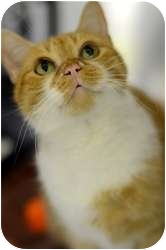 Domestic Shorthair Cat for adoption in Westbrook, Maine - Eliza
