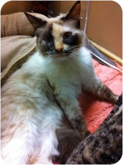 Siamese Cat for adoption in Houston, Texas - Crystal