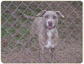 Weimaraner/Pit Bull Terrier Mix Dog for adoption in Haughton, Louisiana - Prince