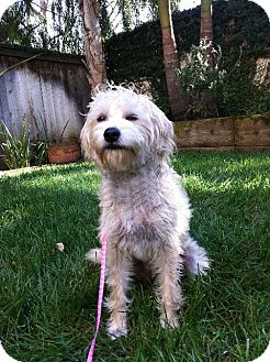 Poodle (Miniature) Mix Puppy for adoption in El Cajon, California - LIZZIE