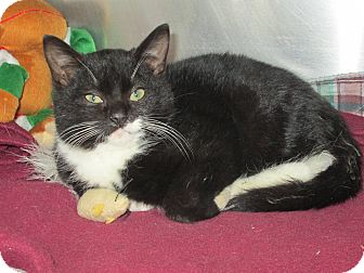 Domestic Shorthair Kitten for adoption in Forked River, New Jersey - Uggs