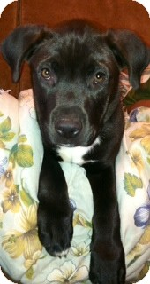 Labrador Retriever/Pit Bull Terrier Mix Puppy for adoption in Staunton, Virginia - Chunk