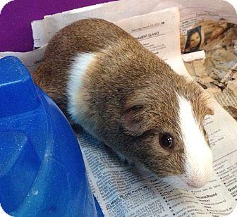Guinea Pig for adoption in Port Orange, Florida - Boonie