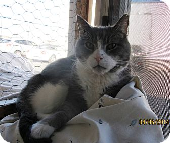 Maine Coon Cat for adoption in Freeport, New York - Poppy