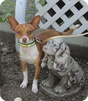 Chihuahua/Basenji Mix Dog for adoption in Sonoma, California - Abby