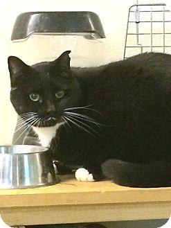 Domestic Mediumhair Cat for adoption in Battle Ground, Washington - Cruise