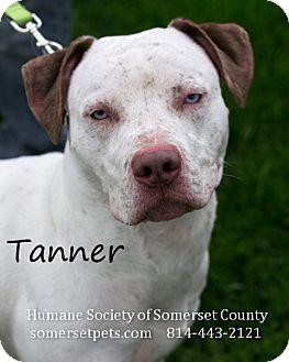 Pit Bull Terrier Mix Dog for adoption in Somerset, Pennsylvania - Tanner