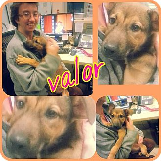 Shepherd (Unknown Type) Mix Puppy for adoption in Barnegat, New Jersey - Valor