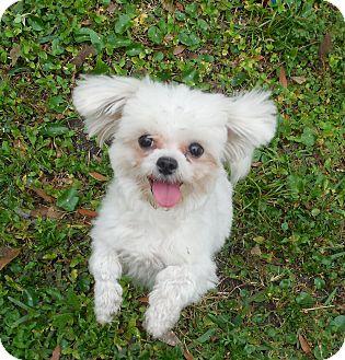 Maltese Dog for adoption in Ormond Beach, Florida - King Ralphy Princess Penelope