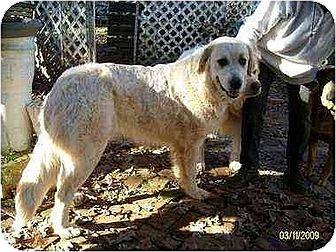 Great Pyrenees Dog for adoption in South Burlington, Vermont - Gypsy