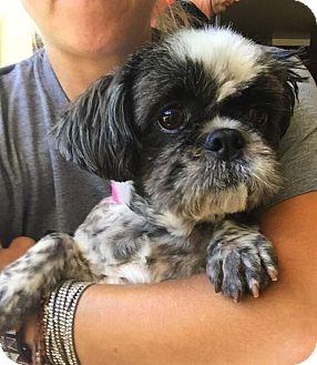 Shih Tzu Mix Dog for adoption in Encino, California - Katie