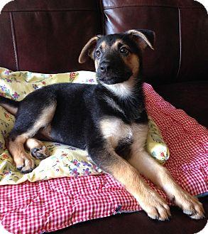 German Shepherd Dog Puppy for adoption in Carlsbad, California - Serena
