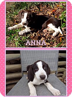 Coonhound Mix Puppy for adoption in East Hartford, Connecticut - Anna in CT