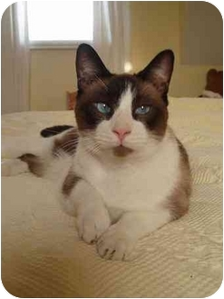 Snowshoe Cat for adoption in Montreal and Area, Quebec - Zack