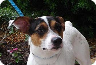 Terrier (Unknown Type, Medium)/Jack Russell Terrier Mix Dog for adoption in Batavia, Ohio - Newton