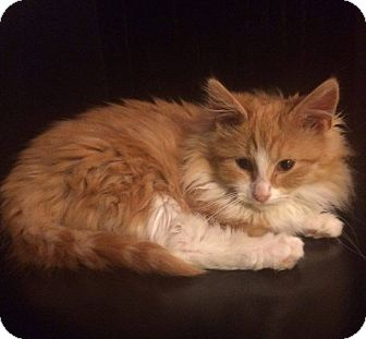 Domestic Longhair Cat for adoption in Loogootee, Indiana - Amy
