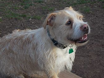 Wirehaired Fox Terrier Mix Dog for adoption in SOUTHINGTON, Connecticut - Duffy