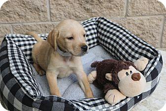 Labrador Retriever Mix Dog for adoption in Norwalk, Connecticut - Frisco