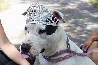 Staffordshire Bull Terrier Dog for adoption in Davie, Florida - Rumba