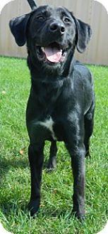 Labrador Retriever Mix Dog for adoption in Columbus, Nebraska - Brian