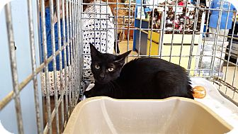 Domestic Shorthair Kitten for adoption in East Hartford, Connecticut - Onyx (in CT)