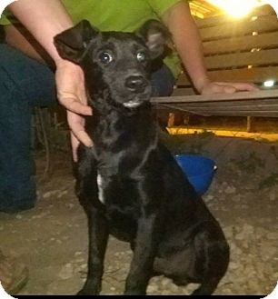 Terrier (Unknown Type, Small) Mix Puppy for adoption in Jarrell, Texas - Rollie