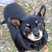 Adopt A Pet :: Teenie - Orland, CA