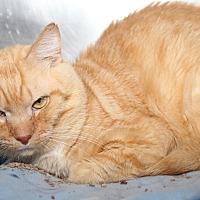 Domestic Shorthair Cat for adoption in Marietta, Ohio - Mufasa (Neutered)