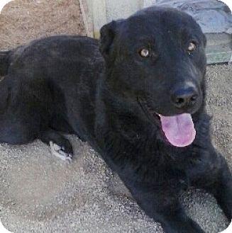 Labrador Retriever Mix Dog for adoption in Las Vegas, Nevada - Bear