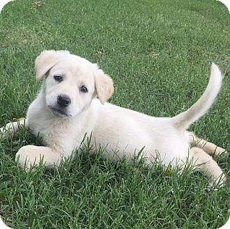 Shepherd (Unknown Type)/Labrador Retriever Mix Puppy for adoption in Glastonbury, Connecticut - Opal