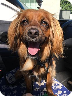 Spaniel (Unknown Type)/Mixed Breed (Small) Mix Dog for adoption in San Diego, California - Lionel