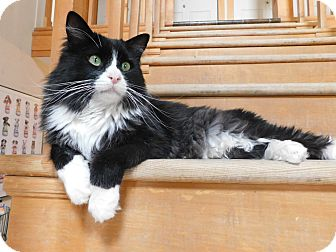 Domestic Longhair Cat for adoption in Ridgway, Colorado - Beau