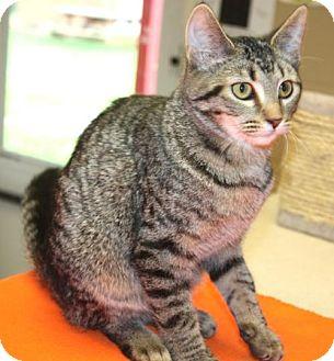 Domestic Shorthair Cat for adoption in Cottageville, West Virginia - Dorie