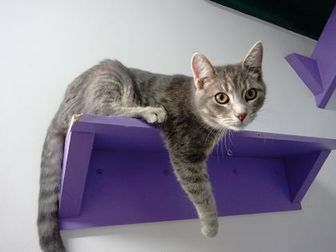 Domestic Shorthair/Domestic Shorthair Mix Cat for adoption in Belleville, Michigan - Jan