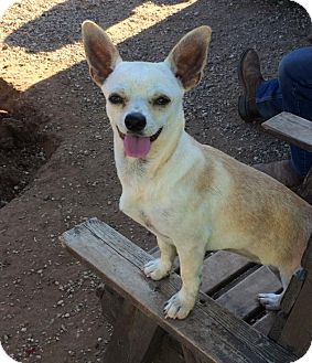 Chihuahua Mix Dog for adoption in Post, Texas - Dottie