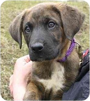 St. Bernard/Plott Hound Mix Puppy for adoption in Ladysmith, Wisconsin - Cocoa