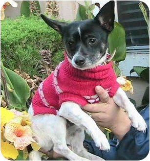 Chihuahua Dog for adoption in Poway, California - Ace