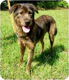 Irish Wolfhound Mix Dog for adoption in Peachtree City, Georgia - Maggie